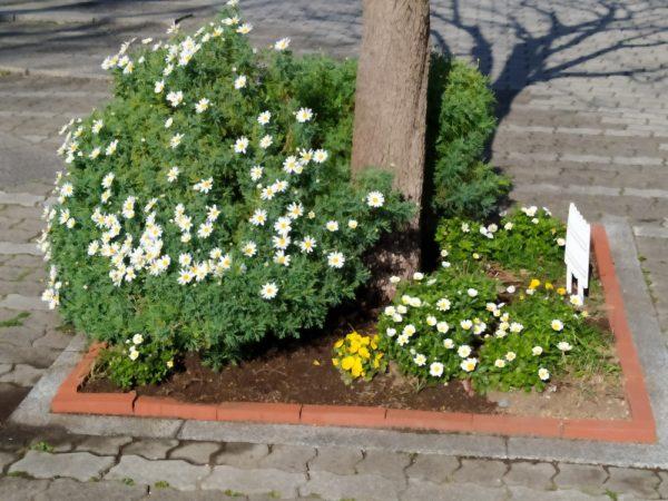 マーガレットと黄色のパンジーの咲く花壇