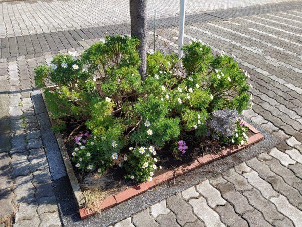 マーガレットとノースポール等が咲く花壇