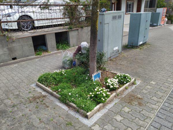 ノースポールとハナニラの咲いた花壇の草取り