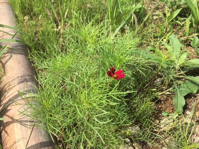 5散水の効果でコスモス の花が咲きだしました